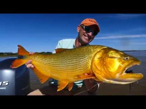 Kick Ass Golden Dorado Fishing Video, Argentina